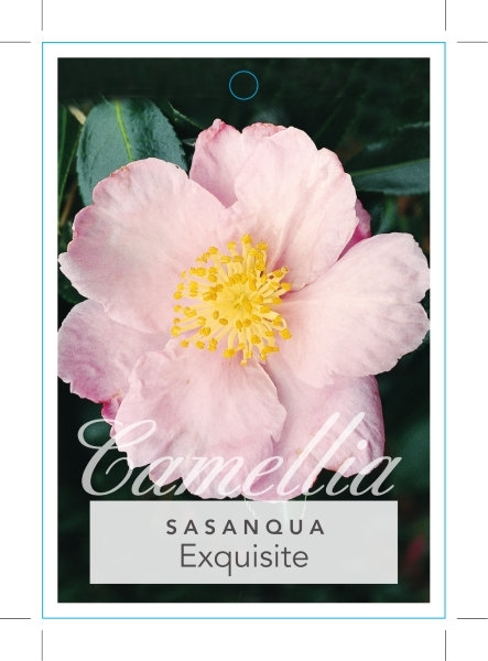 Picture of **CAMELLIA EXQUISITE