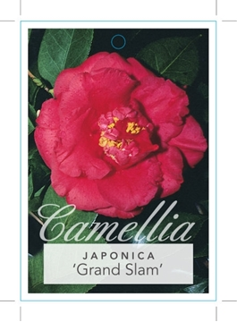 Picture of **CAMELLIA GRAND SLAM