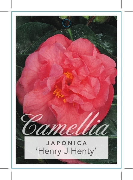 Picture of **CAMELLIA HENRY J HENTY
