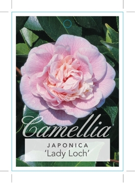 Picture of **CAMELLIA LADY LOCH