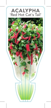Picture of ACALYPHA HISPIDA RED HOT CATS TAIL