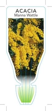Picture of ACACIA MICROBOTRYA MANNA WATTLE