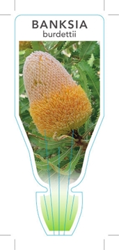 Picture of BANKSIA BURDETTII