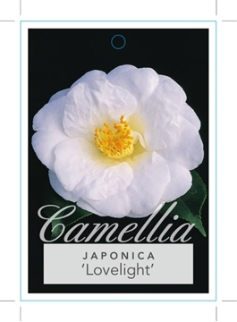 Picture of **CAMELLIA LOVELIGHT