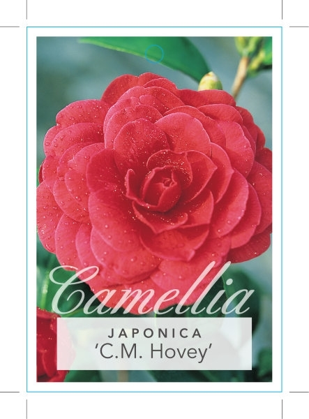Picture of **CAMELLIA C M HOVEY