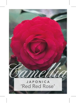 Picture of **CAMELLIA RED RED ROSE