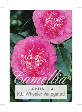 Picture of **CAMELLIA R L WHEELER VARIEGATED