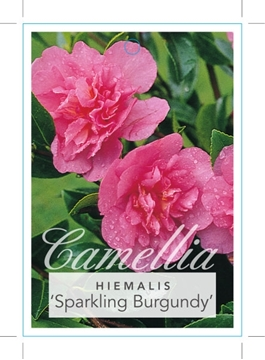 Picture of **CAMELLIA SPARKLING BURGUNDY