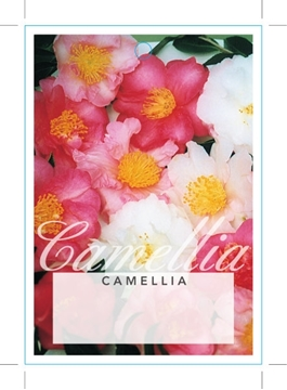 Picture of CAMELLIA - MIXED PICTURE (UNNAMED VARIETY)