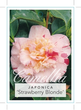 Picture of **CAMELLIA STRAWBERRY BLONDE