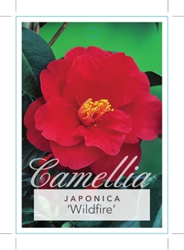 Picture of **CAMELLIA WILDFIRE
