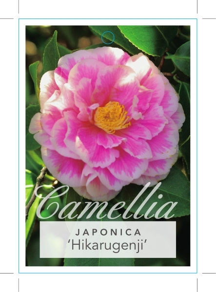 Picture of **CAMELLIA HIKARUGENJI SYN HERME