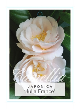 Picture of **CAMELLIA JULIA FRANCE