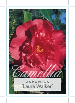 Picture of **CAMELLIA LAURA WALKER