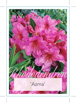 Picture of **RHODODENDRON AZMA