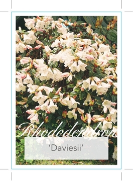 Picture of **RHODODENDRON DAVIESII
