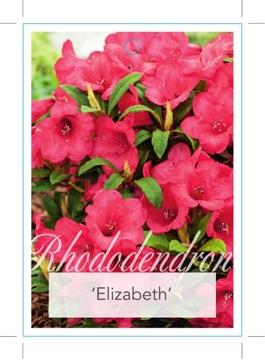 Picture of **RHODODENDRON ELIZABETH