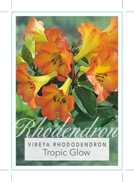Picture of **RHODODENDRON VIREYA TROPIC GLOW