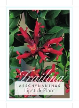 Picture of **HOUSEPLANT AESCHYNANTHUS LIPSTICK PLANT