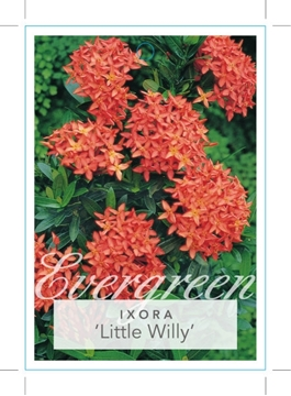 Picture of **IXORA LITTLE WILLY