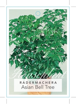 Picture of **RADERMACHERA SINICA ASIAN BELL TREE