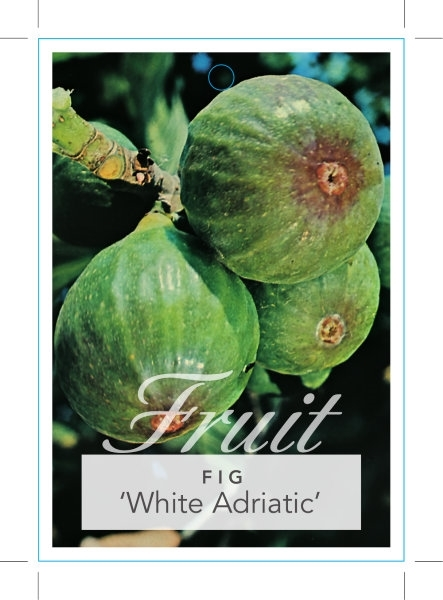 Picture of FRUIT FIG WHITE ADRIATIC