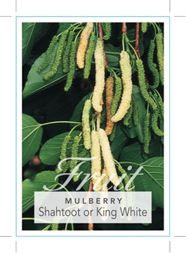 Picture of **FRUIT MULBERRY SHAHTOOT OR KING WHITE