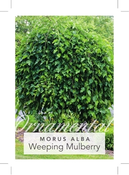 Picture of MULBERRY WEEPING MORUS ALBA