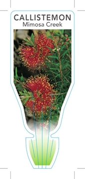 Picture of CALLISTEMON PEARSONII MIMOSA CREEK