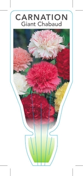 Picture of ANNUAL CARNATION GIANT CHABAUD (Dianthus carophyllus)