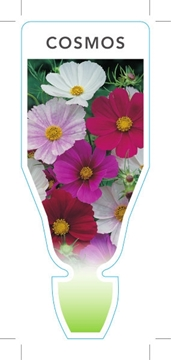 Picture of ANNUAL COSMOS (Cosmos Sp.)