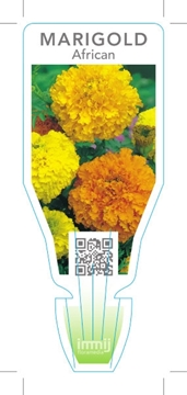 Picture of ANNUAL MARIGOLD AFRICAN (Tagetes erecta)