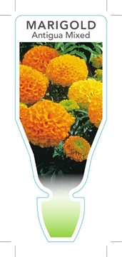 Picture of ANNUAL MARIGOLD ANTIGUA MIXED (Tagetes erecta)