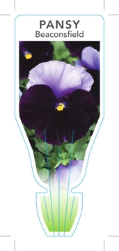 Picture of ANNUAL PANSY BEACONSFIELD (Viola x wittrockiana)