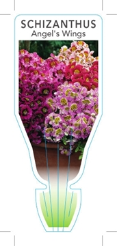 Picture of ANNUAL SCHIZANTHUS ANGELS WINGS