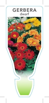 Picture of ANNUAL GERBERA DWARF MIXED PICTURE (UNNAMED VARIETY)