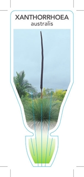 Picture of XANTHORRHOEA AUSTRALIS GRASS TREE