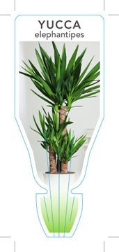 Picture of YUCCA ELEPHANTIPES SPINELESS