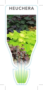 Picture of HEUCHERA - MIXED PICTURE (UNNAMED VARIETY)