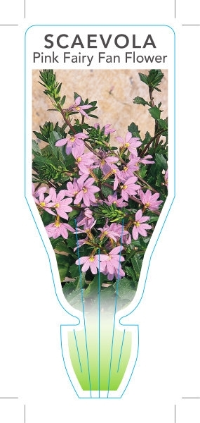 Picture of SCAEVOLA AEMULA PINK FAIRY FAN FLOWER
