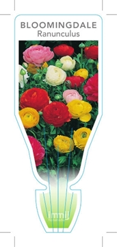 Picture of BULB RANUNCULUS BLOOMINGDALE