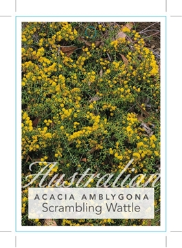 Picture of ACACIA AMBLYGONA