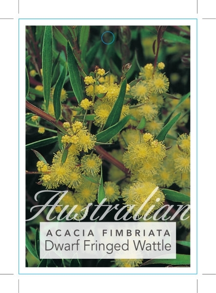 Picture of ACACIA FIMBRIATA DWARF FORM FRINGED WATTLE