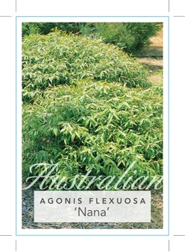 Picture of AGONIS FLEXUOSA NANA DWARF WILLOW MYRTLE