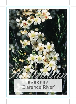 Picture of BAECKEA SP. CLARENCE RIVER WEEPING BAECKEA