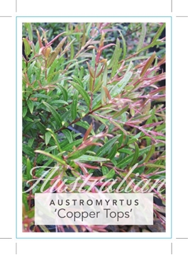 Picture of AUSTROMYRTUS DULCIS X TENUIFOLIA COPPER TOPS