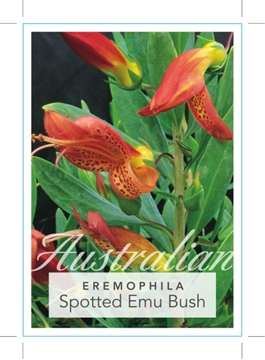 Picture of EREMOPHILA MACULATA SPOTTED