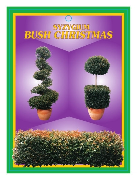 Picture of SYZYGIUM BUSH CHRISTMAS TAG