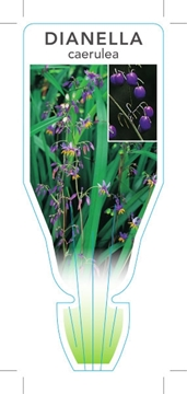 Picture of DIANELLA CAERULEA FLAX LILY