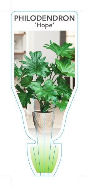 Picture of HOUSEPLANT PHILODENDRON HOPE